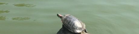 Morningside (1) een zonnende roodwangschildpad