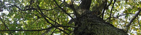 Eiken om naar op te kijken (1) oude kronen hebben nog groene bladeren