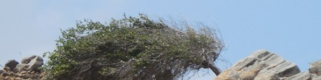 Wind (1) waaiboom op Bonaire