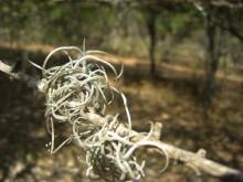 Vermomde Bromelia's (1) een jonge boombaard (Tillandsia)