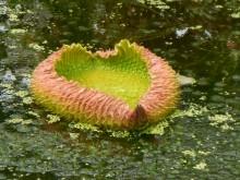 Victoria (2) een jong blad van de Victoria amazonica dat zich uitrolt