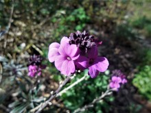 Kruisbloemen (2) Muurbloem