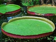 Victoria (1) volwassen bladeren van de Victoria amazonica