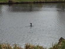 Vreemde vogel (2) aalscholver in vijver, Hofbrouckerpark Oegstgeest