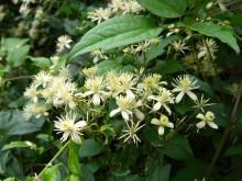 Clematis (2) de bloemen van een bosrank, de wilde Clematis: Clematis vitalba