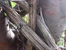 Clematis (3) de dikke stam-stengels van een bosrank in een Japanse kers