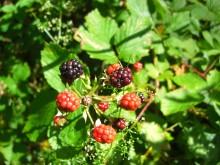 Bramentijd (1) 'gewone' braam met rijpende vruchten