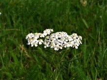 Duizendblad, of minder (1) bloeiend duizendblad