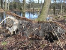 Gevallen, niet verslagen (1) gevallen eik in het Dwingelderveld (winter)