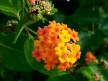 Flor di sanger (2) volwassen bloeischerm van Lantana camara