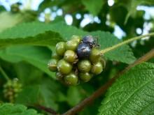 Flor di sanger (3) de vrucht van Lantana camara