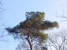 Niet zo Grove den (2) sierlijke groene kroon in een kaal winterbos
