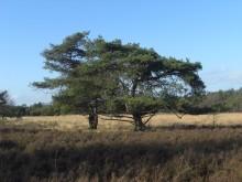Niet zo Grove den (3) breed uitwaaierende Grove dennen op de heide
