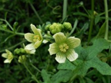Klimmende bessen (3) mannelijke bloemen van de heggenrank, eerder dit jaar