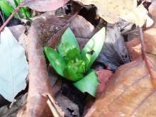 Voorbodes (2) een (te?) vroege hyacint