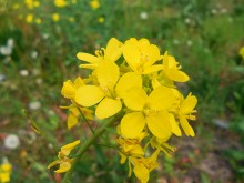 Kruisbloemen (3) Koolzaad