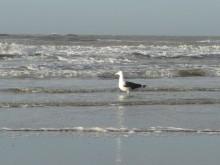 Onzichtbaar seizoen (1) een mantelmeeuw bij de waterlijn