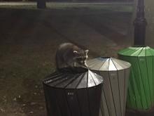Nacht in Central Park (1) een wasbeer verkent de afvalbakken