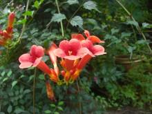 Tis weer voorbij... (3) luidruchtige trompetbloemen