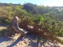 Uit de wind (2) een den die op de grond is gaan liggen
