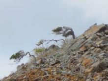 Uit de wind (3) waaibomen tegen een basalthelling op Bonaire