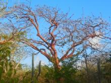 Wayaká-trail (3) een rode zadelboom
