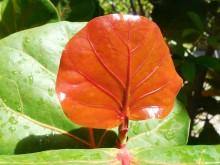 Zeedruif (2) jong blad