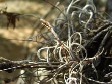 Vermomde Bromelia's (3) bloeistengel van de boombaard (Tillandsia)