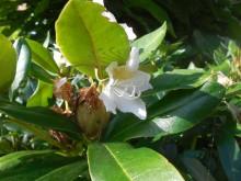 Verwarde rododendrons (1) in mijn voortuin