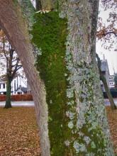 Bomenstromen (3) oude es nummer drie aan de Hofdijck