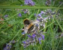 Lavendel voor thuisblijvers (2) met aardhommel