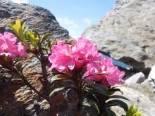 Echte Alpenbloemen (2) het Alpenroosje (Rhododendron ferrugineum)
