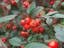 Late bessen (2) Cotoneaster