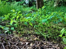 Pop-up eikenbos (1) de jonge juni-boompjes