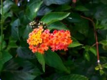 Flor di sanger (1) oudere bloeischermen van Lantana camara