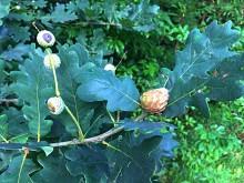 Herfstmelange (3) Ananasgal