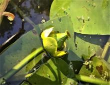 Plomp (2) vrucht van de Gele plomp