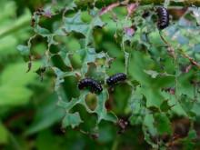 Vegetarische veelvraatjes (1) larven van het Groen zuringhaantje aan het werk