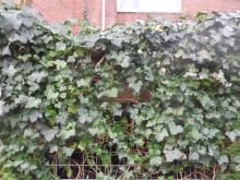 Welbe-hagen (3) haag van Klimop