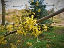 Bloeiend hout (2) Gele kornoelje, nog steeds bloeiend