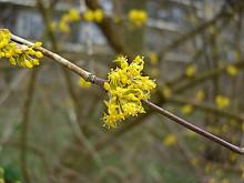 Bloeiend hout (1) Gele kornoelje in volle bloei