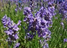 Lavendel voor thuisblijvers (1) bloei