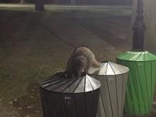 Nacht in Central Park (2) de wasbeer gaat op zijn doel af