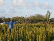 Maishi chiki (1) Sorghum op Bonaire