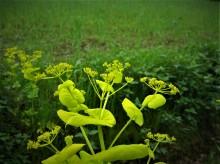 Het is geelgroen en... (1) doorwaskervel in de berm langs een Drentse akker, 2013