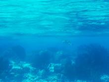 Jonge zeeschildpadjes (3) een volwassen zeeschildpad in zijn element